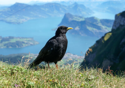 Bird with a view to the Vierwaldstättersee