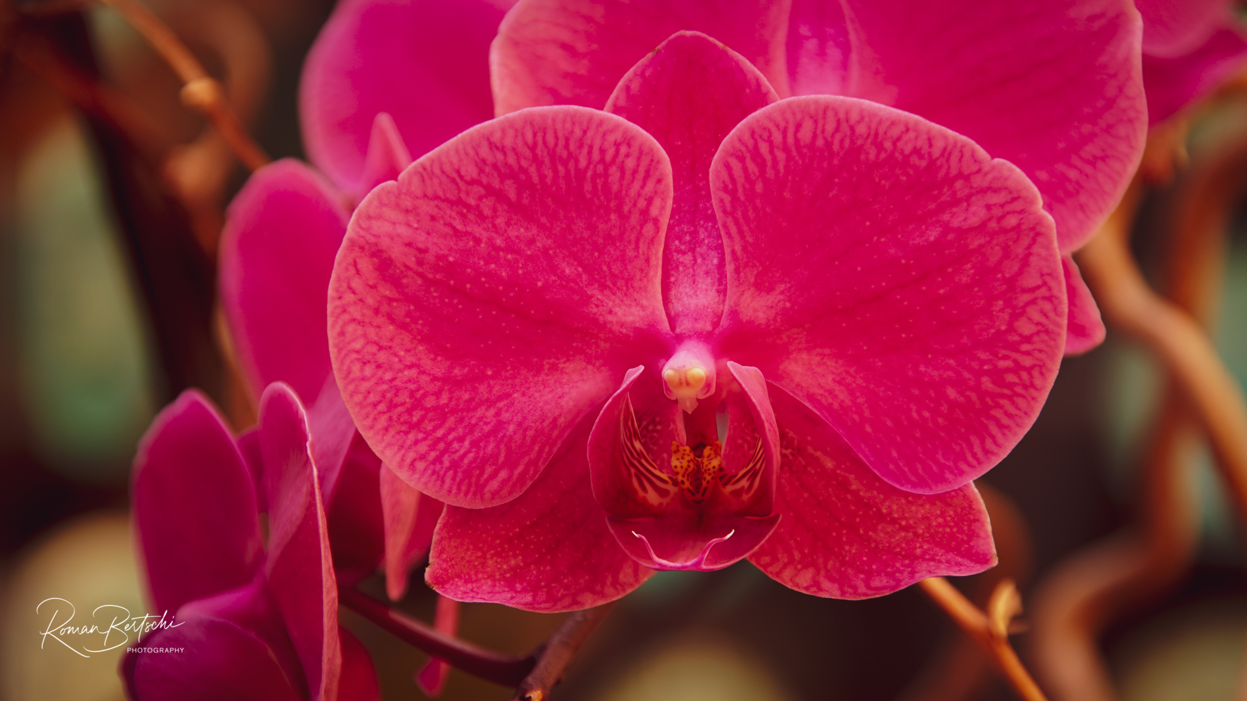 Orchidee Close-Up